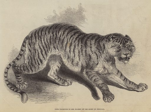 Tiger presented to Her Majesty by the Queen of Portugal. Illustration for The Pictorial Times, 14 February 1846.
