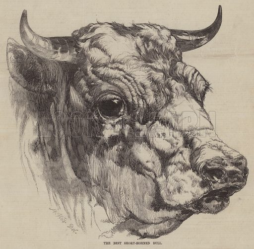 The Best Short-Horned Bull. Illustration for The Pictorial Times, 24 July 1847.