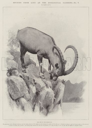 Studies from Life at the Zoological Gardens, the Ibex of the Himalayas. Illustration for The Illustrated London News, 4 February 1899.