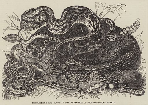 Rattlesnake and Young in the Menagerie of the Zoological Society. Illustration for The Illustrated London News, 27 January 1849.