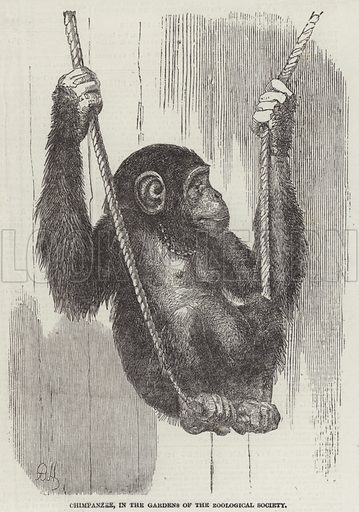 Chimpanzee, in the Gardens of the Zoological Society