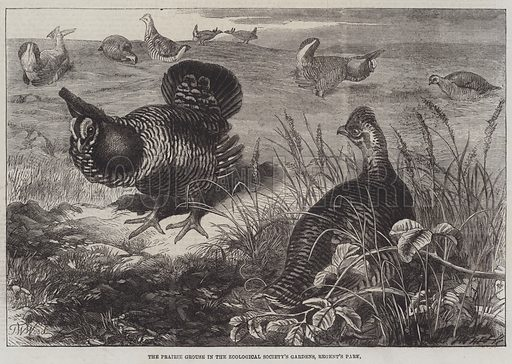 The Prairie Grouse in the Zoological Society's Gardens, Regent's Park. Illustration for The Illustrated London News, 7 June 1862.