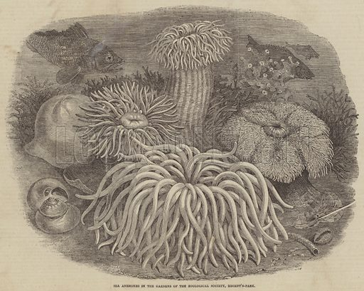 Sea Anemones in the Gardens of the Zoological Society, Regent's-Park