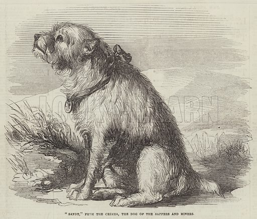"""""""Sandy,"""" from the Crimea, the Dog of the Sappers and Miners. Illustration for The Illustrated London News, 23 February 1856."""