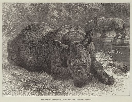 The Sumatra Rhinoceros at the Zoological Society's Gardens. Illustration for The Illustrated London News, 23 March 1872.