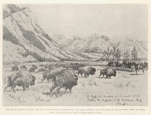 The Royal Colonial Tour, the Duke and Duchess of Cornwall and York visiting the Buffaloes in the National Park at Banff. Illustration for The Illustrated London News, 26 October 1901.