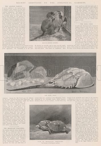 Recent Additions to the Zoological Gardens. Illustration for The Illustrated London News, 2 November 1901.