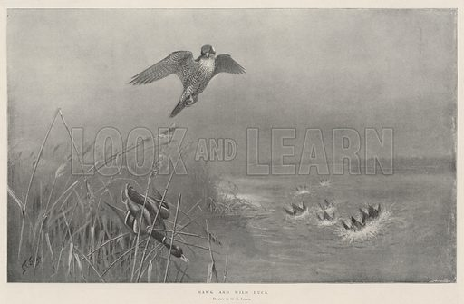 Hawk and Wild Duck. Illustration for The Illustrated London News, 23 November 1901.