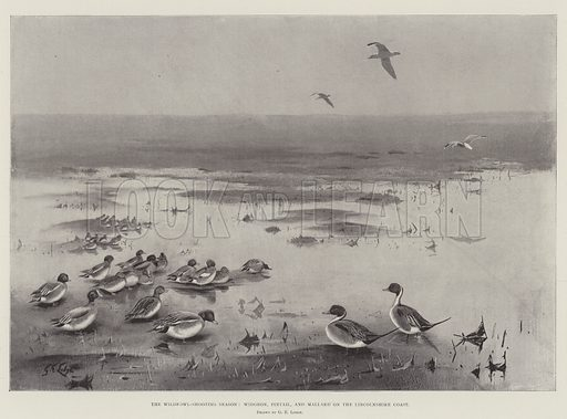 The Wildfowl-Shooting Season, Widgeon, Pintail, and Mallard on the Lincolnshire Coast. Illustration for The Illustrated London News, 8 February 1902.