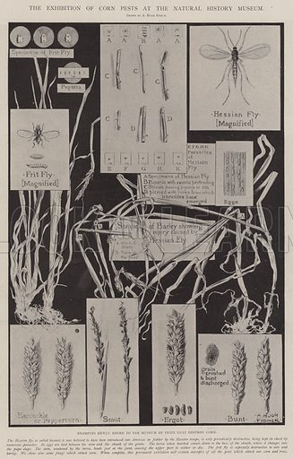 The Exhibition of Corn Pests at the Natural History Museum, Examples newly added to the Museum of Pests that destroy Corn. Illustration for The Illustrated London News, 26 April 1902.