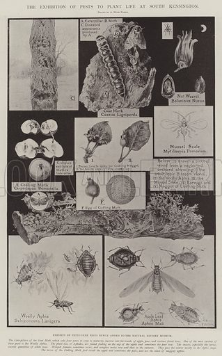 The Exhibition of Pests to Plant Life at South Kensington, Exhibits of Fruit-Tree Pests newly added to the Natural History Museum. Illustration for The Illustrated London News, 3 May 1902.