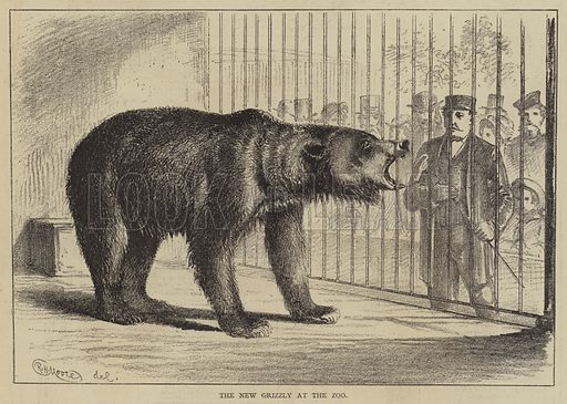 The New Grizzly at the Zoo. Illustration for The Illustrated Sporting and Dramatic News, 13 September 1876.
