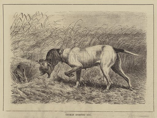 German Sporting Dog. Illustration for The Illustrated Sporting and Dramatic News, 25 September 1880.