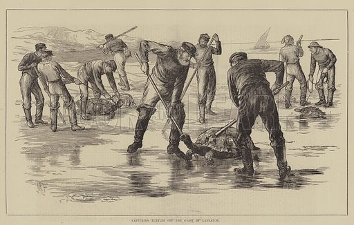 Capturing Turtles off the Coast of Labrador. Illustration for The Illustrated Sporting and Dramatic News, 26 February 1881.