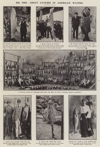 Big fish: great catches in American waters. Illustration for The Illustrated London News, 23 June 1906.