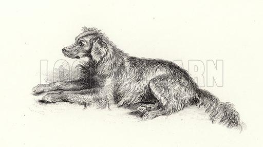 A Setter Dog.