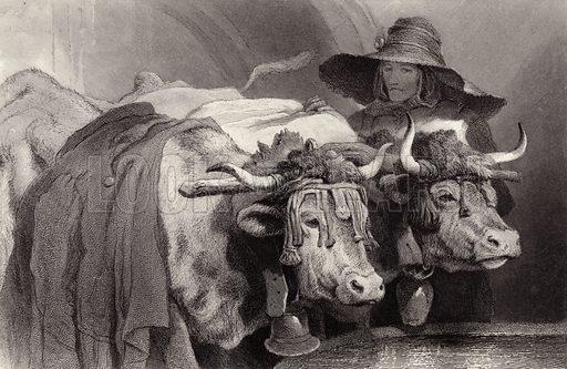 Oxen at the Tank, Geneva, Switzerland.