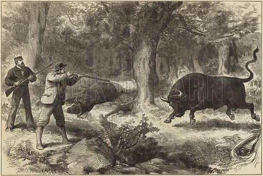 Wild bull shooting in the Galapagos Islands. Published in the Ilustrated London News, 10 March 1877.