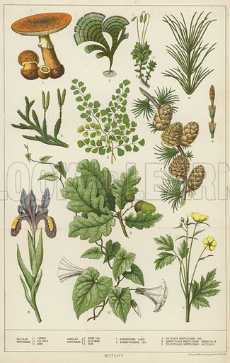 Botany, with depictions of cellular cryptograms (1. fungus; 2. seaweed; 3. moss), vascular cryptograms (4. horse-tail; 5. club moss; 6. fern), gymnosperms, larch (7), monocotyledons, iris (8), apetalous dicotyledons, oak (9), gamopetalous dicotyledons, convolvulus (10), polpetalous, dicotyledons, buttercup (11).