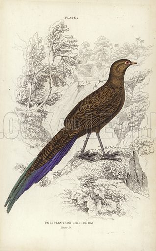 Polyplectron Chalcurum. Engraving by William Home Lizars.