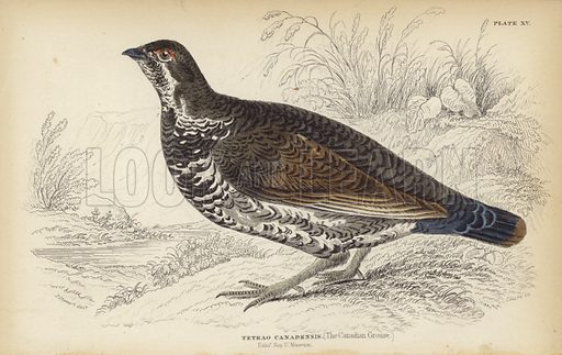 The Canadian Grouse (Tetrao Canadensis). Engraving by William Home Lizars after an original drawing by J Stewart.