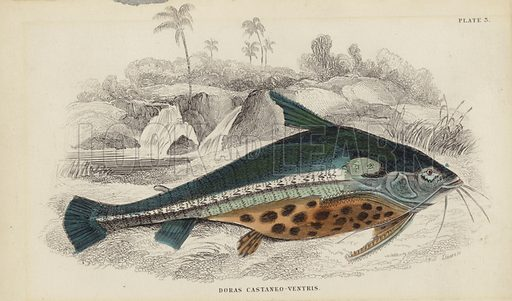 Doras Castaneo-Ventris. Engraving by William Home Lizars.