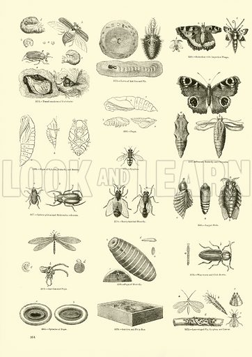 Lacewing and othet flies, picture. image, illustration