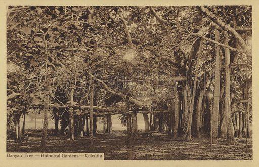 Banyan Tree-Botanical Gardens-Calcutta.