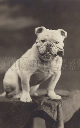 Bulldog sitting on a table and smoking a pipe