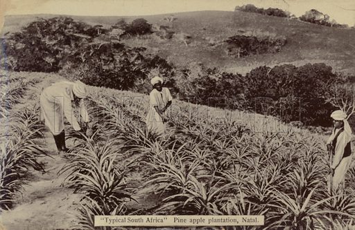 Postcard depicting a pineapple plantation in Natal, KwaZulu-Natal, South Africa.