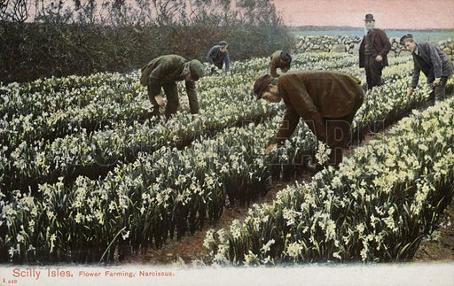 Scilly Isles, Flower Farming, Narcissus.