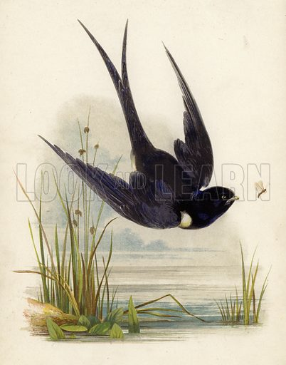 A swift hunting insects over pond.