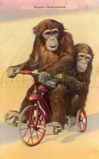 Cycling chimpanzees