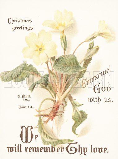 Primroses, Christmas Card.