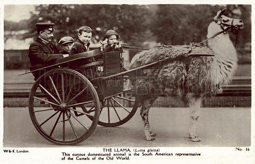 The Llama, London Zoo. Postcard, early 20th century.