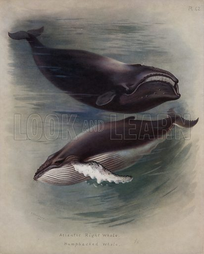 Atlantic Right Whale, Humpbacked Whale. Illustration for British Mammals written and illustrated by A Thornburn (Longmans, 1920).
