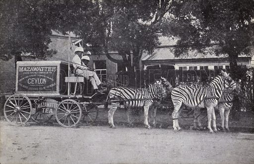 Mazawattee's cart pulled by a team of zebras