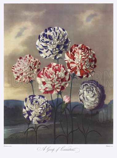 Thornton's Temple Of Flora, Carnations
