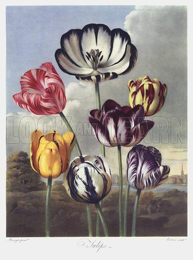 Thornton's Temple Of Flora, Tulips
