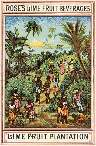 Lime Fruit Plantation.