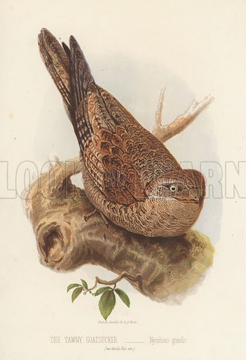 The Tawny Goatsucker, Nyctibius Grandis. Illustration for Cassell's Book of Birds by Thomas Rymer Jones (Cassell, c 1880).