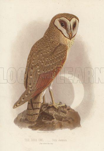 The Java Owl, Strix Javanica. Illustration for Cassell's Book of Birds by Thomas Rymer Jones (Cassell, c 1880).
