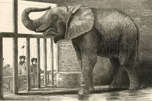 Jumbo, the big African elephant at the Zoological gardens, recently purchased by Mr Barnum. Appeared in The Graphic on 25 February 1882.