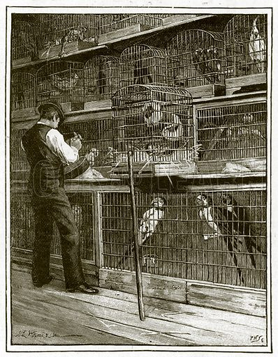 Jamrach's. The aviary. Illustration for article in The Strand magazine, 1891.