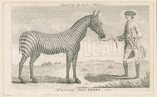 The Queen's Female Zebra. Engraved for the London Magazine July 1762.
