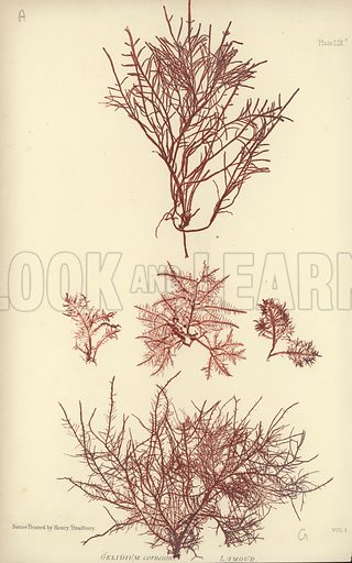 "British Sea-Weed. Illustration for The Nature-Printed British Sea-Weeds by William Grosart Johnstone and Alexander Croall, ""nature printed"" by Henry Bradbury (Bradbury & Evans, 1860)."