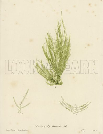 "British Sea-Weed. Illustration for The Nature-Printed British Sea-Weeds by William Grosart Johnstone and Alexander Croall, ""nature printed"" by Henry Bradbury (Bradbury & Evans, 1860)."