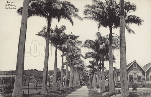 Avenue of Palms, Barbados.