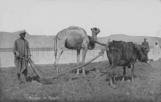 Man ploughing the land with camel and ox, Egypt. Postcard, late 19th or early 20th century.