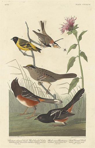 Chestnut-coloured Finch, Black-headed Siskin, Black Crown Bunting and Arctic Ground Finch. Date: 1837. Accession number: 1945.8.394.